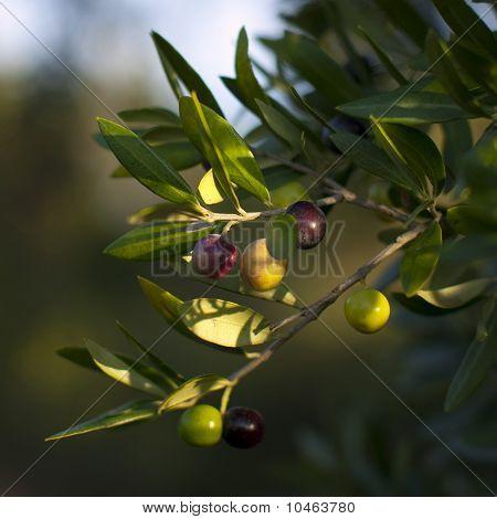 Ripening Spanish Black Olives