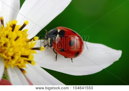 Ladybug and flower on a green background