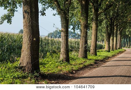 Large Trees In The Side Of A Rural Road
