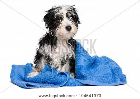 Cute Wet Havanese Puppy After Bath Is Sitting On A Blue Towel