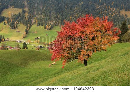 Colorful Pear Tree In Autumn