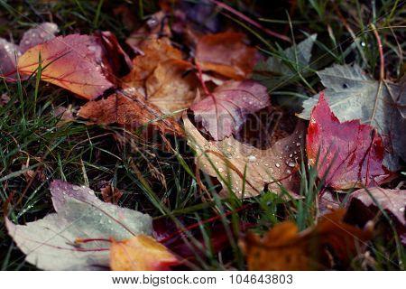 Autumn wet leaves on green grass. Horizontal shot