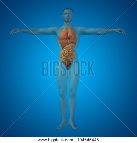 Concept conceptual 3D human man structure with internal organs,digestive,lungs and circulatory system on blue background
