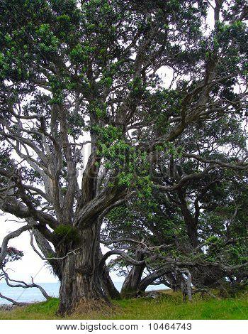 New Zealand Christmas Tree - Metrosideros Excelsa