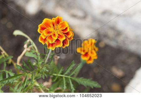 Beautiful Flower Orange And Yellow