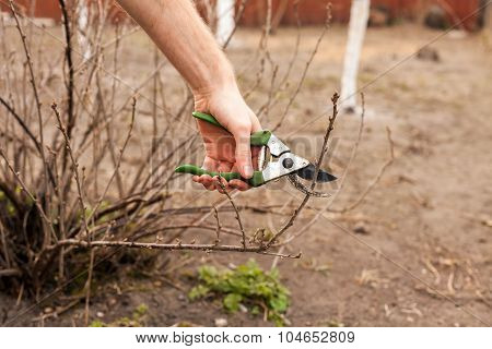 Gardener is cutting a currant with a pruner