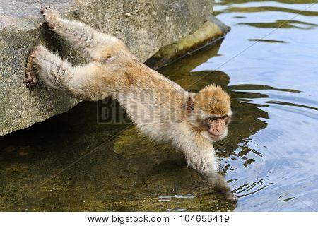 Young Barbary Macaque Takes Food Out Of The Water, The Netherlands