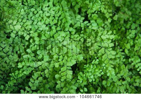 Lush Adiantum capillus-veneris, also known as Southern maidenhair fern, black maidenhair fern, maidenhair fern,or venus hair fern,  shot from above.  Shallow depth of field.