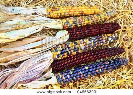 Indian Colorful Maize-fall, Harvest And Thanksgiving Symbols