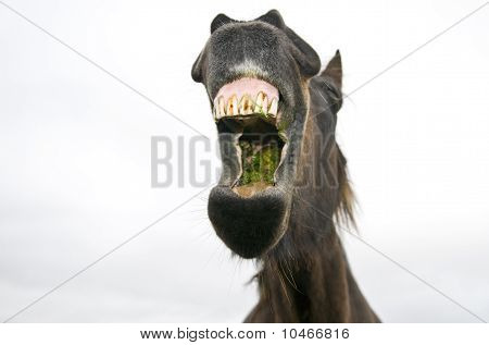 A brown horse yawning.