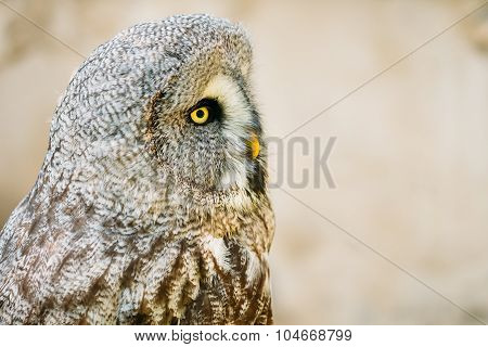 The great grey owl or great gray owl - Strix nebulosa is a very large owl.