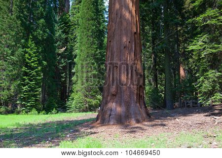 Giant Sequoia Redwood Trees In Sequoia National Park
