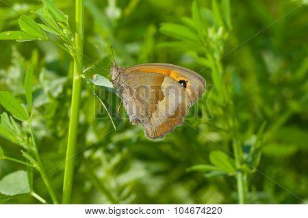 Meadow brown butterfly in summer grass
