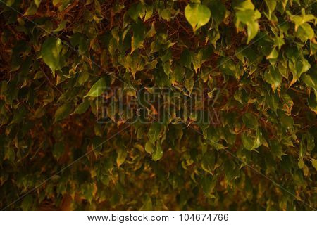 The Night Photography Ficus Green Tree Summer