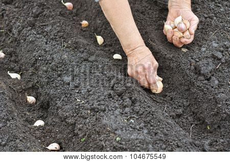 Farmer Planting Garlic