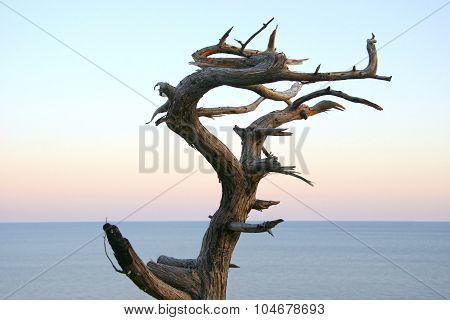 Dried Juniper Tree Like A Dragon Against A Background Of Calm Sea