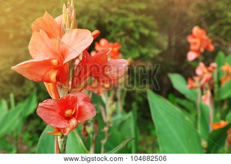Canna flower growing in garden, close-up