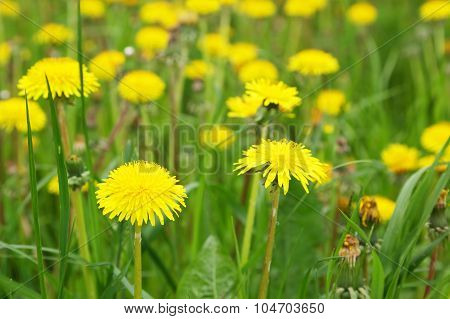 Blooming yellow Dandelions
