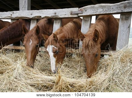 Chestnut Horses Eating Dry Grass In The Stable Rural Scene