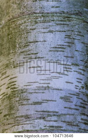 Texture Of White  Birch Tree Bark