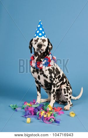 Portrait pure breed Dalmatian dog with birthday hat and chains in studio on blue background