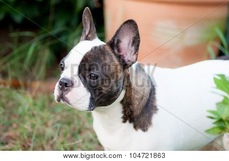French  Bulldog In The Yard