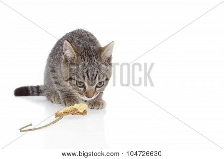 Kitten Squat And Gazing On White Background