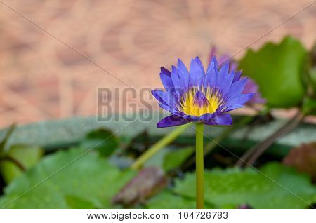 A Water Flower Also Called A Lotus - In A Pond Surrounded By Floathing Leaves.
