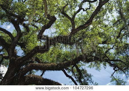 Southern Live Oak Tree - Quercus virginiana