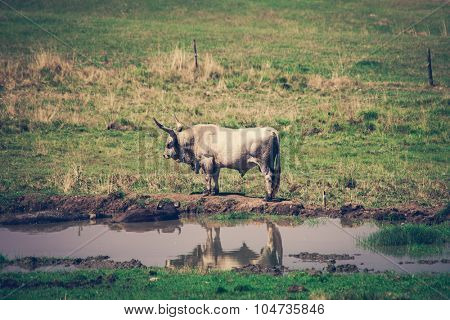 indigenous species endangered-maintained podolian cattle on farm in Serbia stand by pond with couple buffalos lie in it
