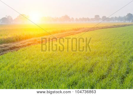 Rice Field With Sunrise In The Morning