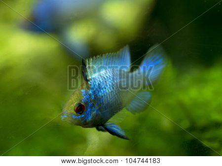 Microgeophagus Ramirezi Electric Blue
