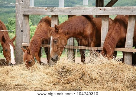 Young Horses Eating Fresh Hay Between The Bars Of An Old Wooden Fence