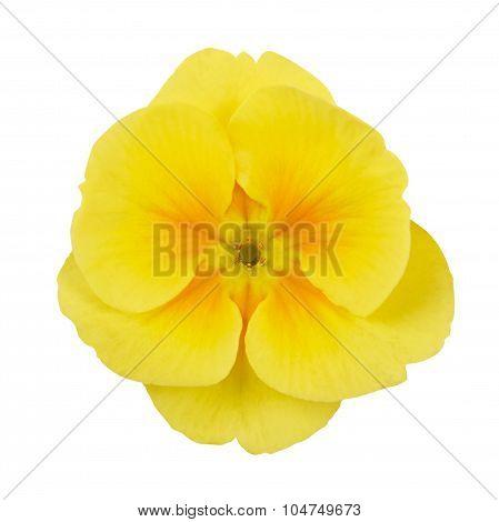 Primrose Yellow Flower Violet