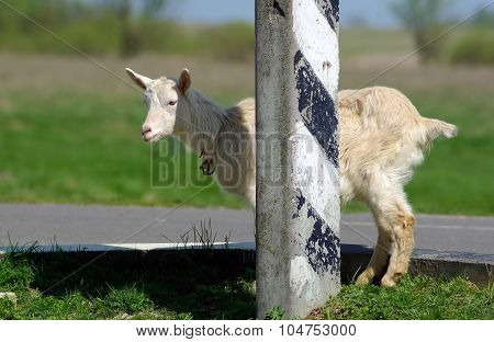 Goat And Pillar