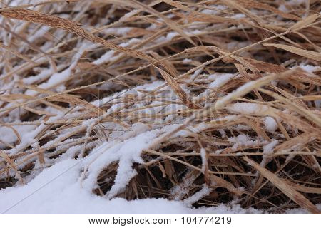 Coastal plant cane Phragmites in the winter under snow