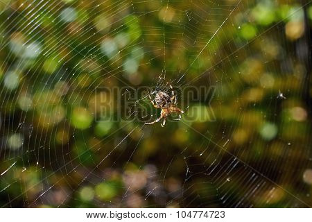 Cross Tee Spider In Its Network Eats Prey.