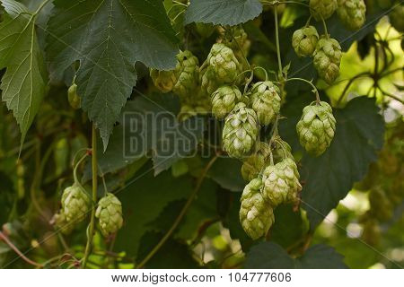 Fruits Of Hops  In A Forest Glade.