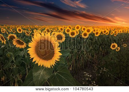 Colorful Sunflowers On Flat Land At Sunset