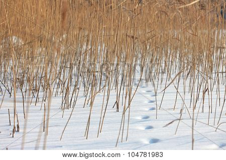 Coastal plant cane Phragmites in winter