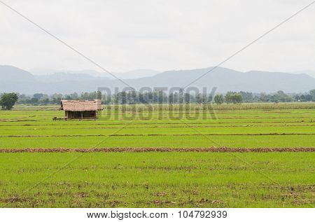 Rice Fields And Old Cottages
