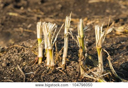 Maize Stubble From Close In Low Afternoon Sunlight