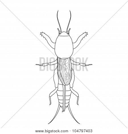 Gryllotalpidae.  European mole cricket. gryllotalpa. Sketch of mole cricket  mole cricket isolated o
