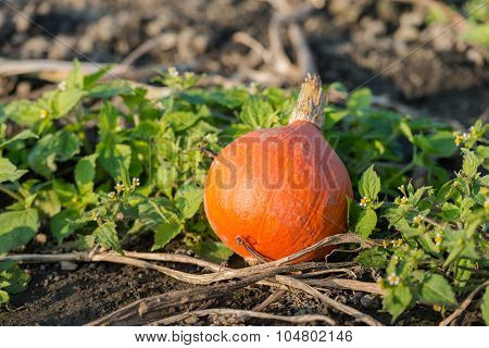 Orange Pumpkin Left After Quality Assessment