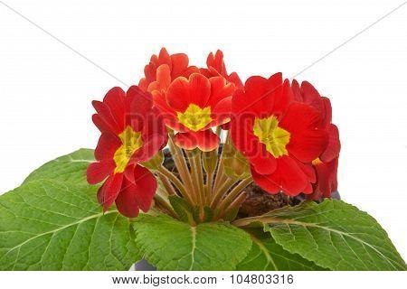 Primrose Red Flower Violet