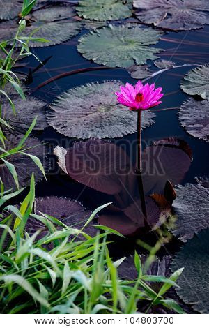 Pink water lilly in a natural pond in Trinidad and Tobago
