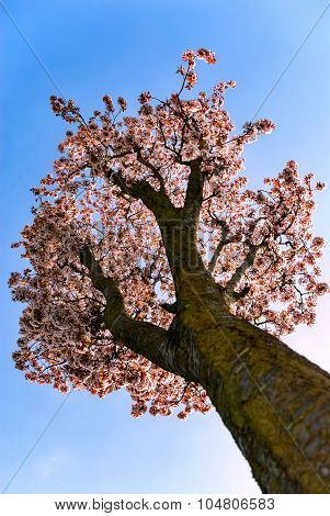 Cherry tree blossom single tree low view angle