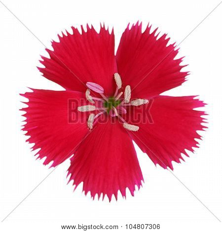 Carnation Flower Crimson Red Color Isolated