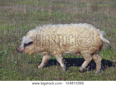 Curly pig  goes on a meadow
