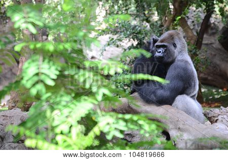 Gorilla in Loro Park in Puerto de la Cruz on Tenerife, Canary Islands, Spain